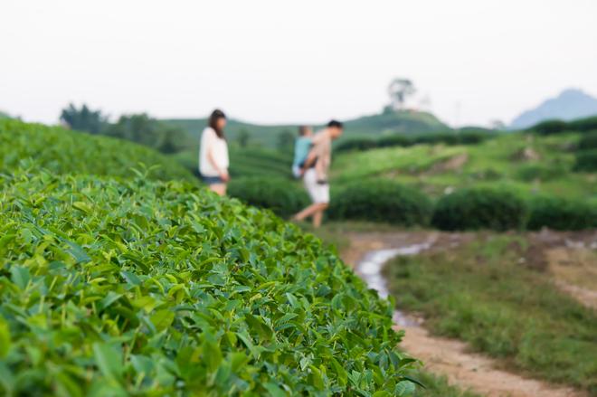 Green tea hills in Moc Chau
